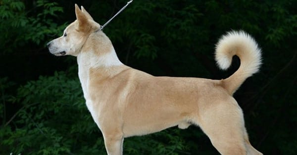 Canaan Dog – An Ancient Breed