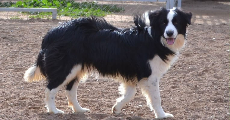 The Border Collie Is One Very Smart Dog