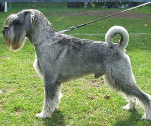 Standard Schnauzer The Granddaddy Of The Awesome Schnauzer Breed