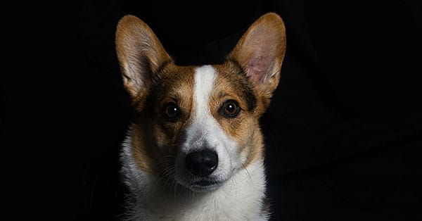 Cardigan Welsh Corgis Are Royal Family Dogs