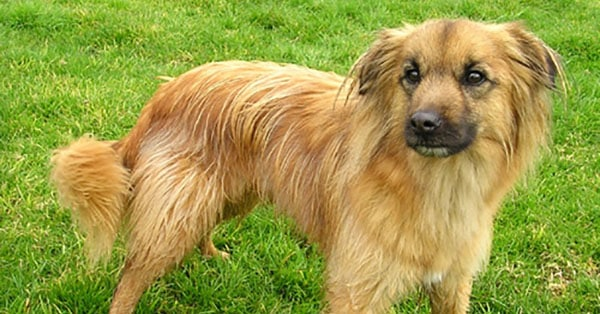 Pyrenean Shepherd An Energetic Herding Dog