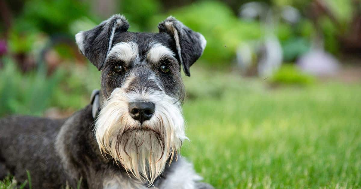 Most Popular Schnauzer Breed – Miniature Schnauzer