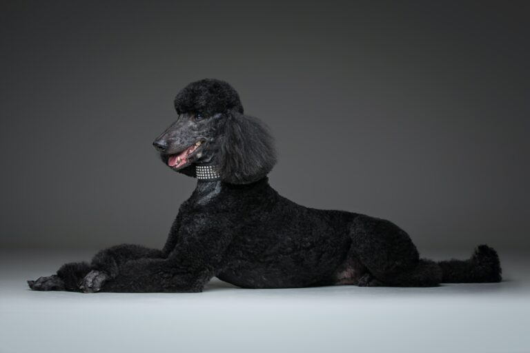 Are Poodles Smart Dogs?