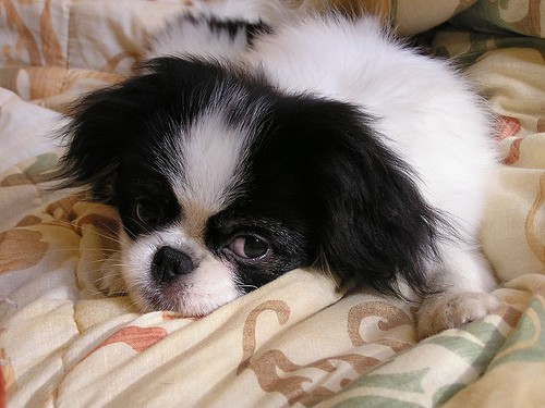 3 Best Reasons To Get A Japanese Chin And 2 Good Reasons Not To