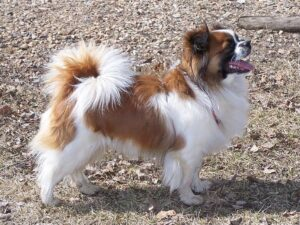 3 Best Reasons To Get A Tibetan Spaniel And 2 Good Reason Not To