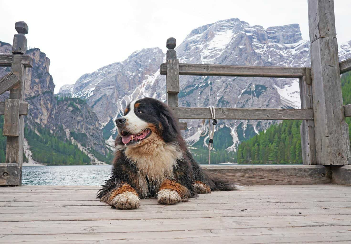 Large and fluffy Bernese Mountain Dog lying on the wooden pier at the mountain lake