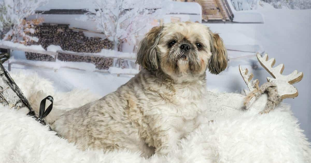 3 Best Reasons To Get A Lhasa Apso And 2 Good Reason Not To