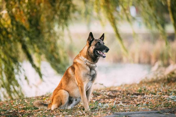 Versatile Belgian Shepherds Are Extremely Loyal Family Pets