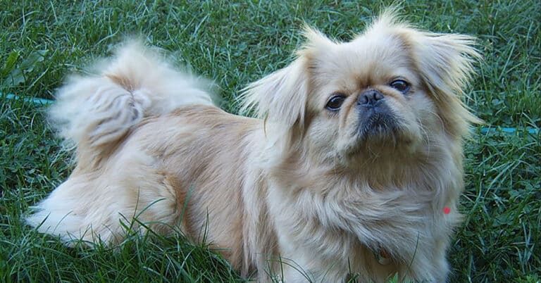 3 Best Reasons To Get A Pekingese And 2 Good Reason Not To
