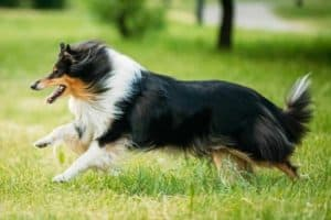 Shetland Sheepdog, Sheltie, Collie. Play Run Outdoor In Summer G
