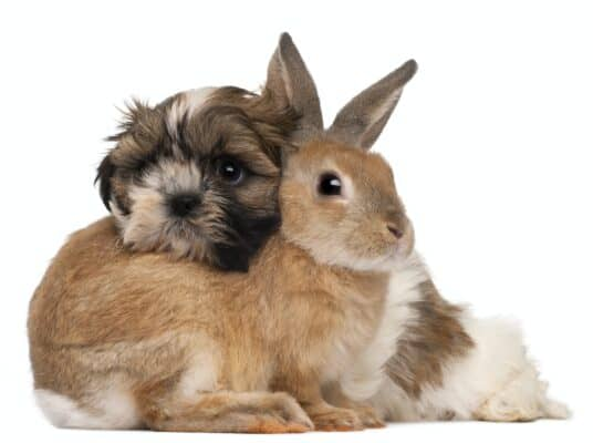 Shih-Tzu and rabbit in front of white background
