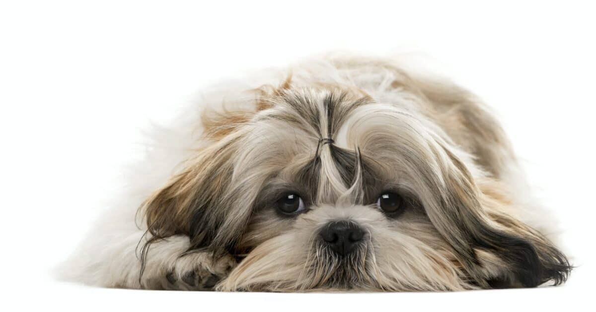3 Best Reasons To Get A Shih Tzu And 2 Good Reason Not To