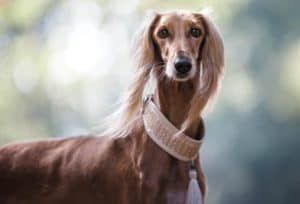 Sighthounds Are  Super Fast Dogs And Excellent Family Pets