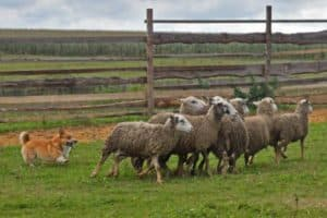Welsh Corgi sheepherding group of sheep