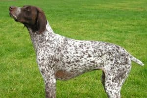 Amazing German Shorthaired Pointers Do Just About Everything