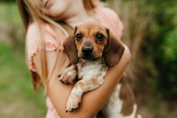 A red piebald mini dachsund being held by a little girl out in a green field.