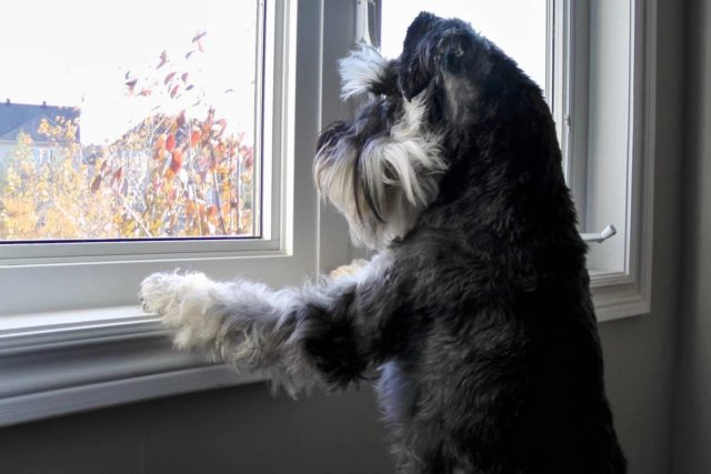Dog enjoying the view from window.
