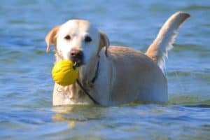 Why The Labrador Retriever Is #1 Most Popular Family Dog
