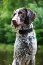 Portrait of a pointer dog with wet hair after a swim