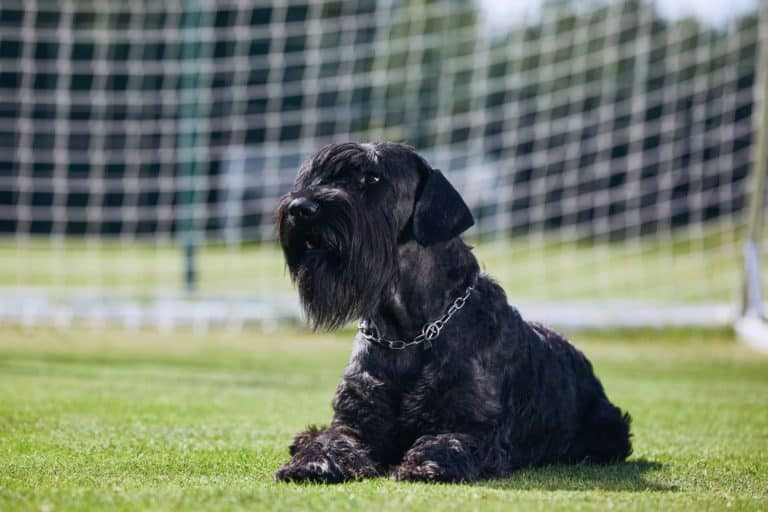 Giant Schnauzers Are More Than Just Another Big Dog