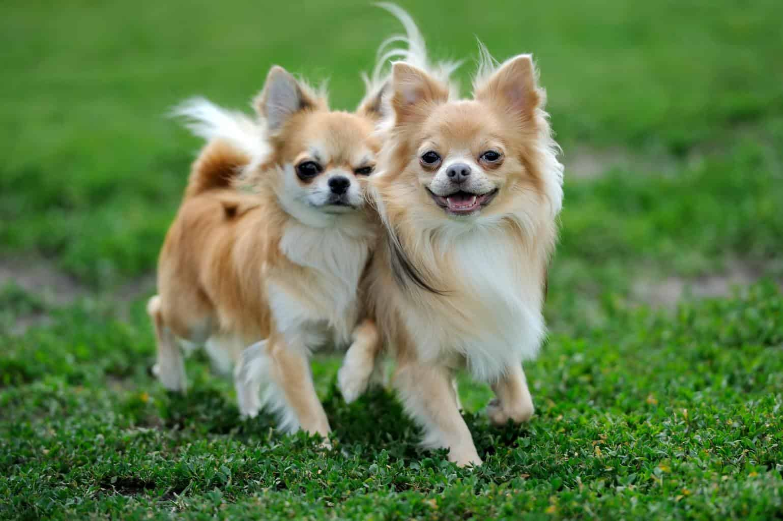 Two Longhair Chihuahua dog