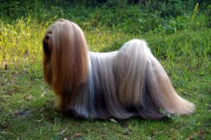 The Elegant Lhasa Apso Is Sturdy, Agile, And Smart
