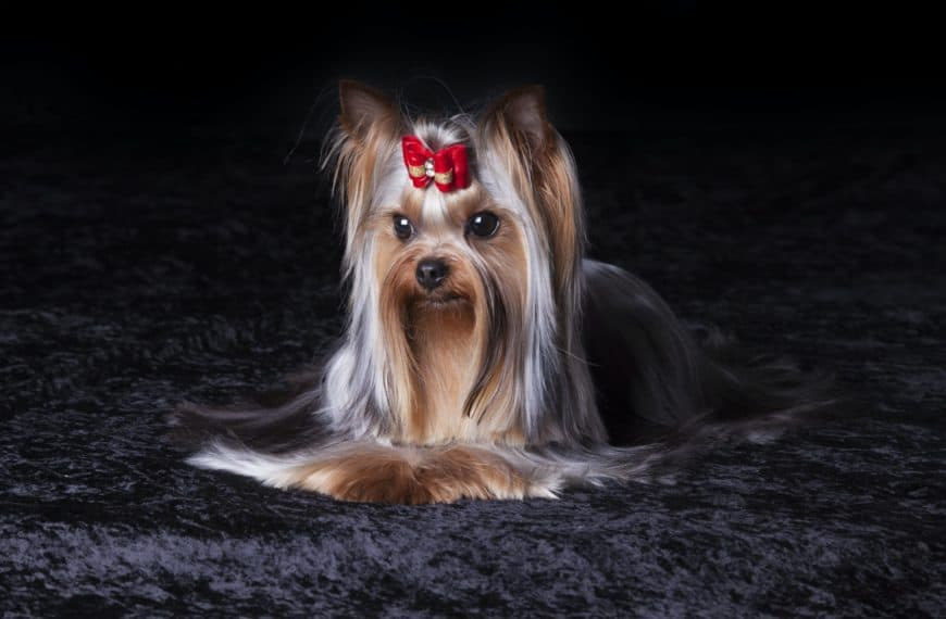 Is The Special Yorkshire Terrier Your Kind of Dog?