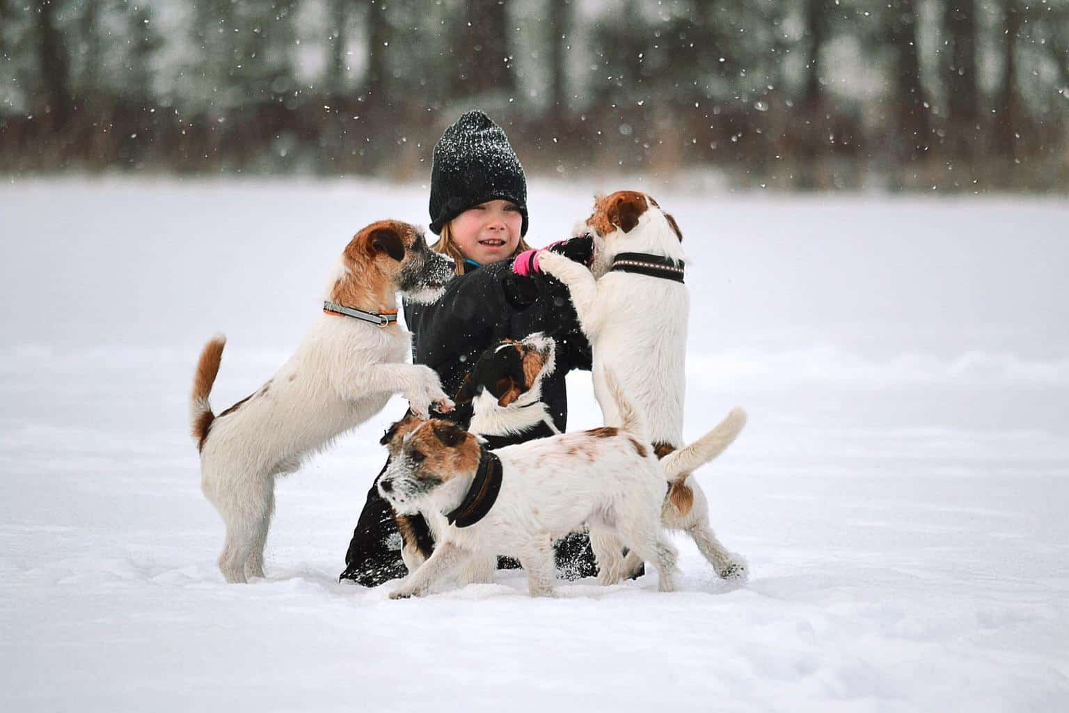 Girl playing with three jack russell terriers