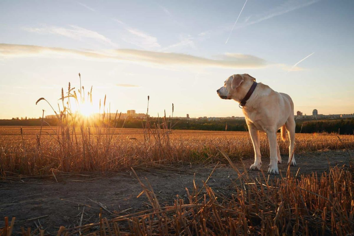 Lonely old dog on path. Sad labrador retriver looking at sunset.