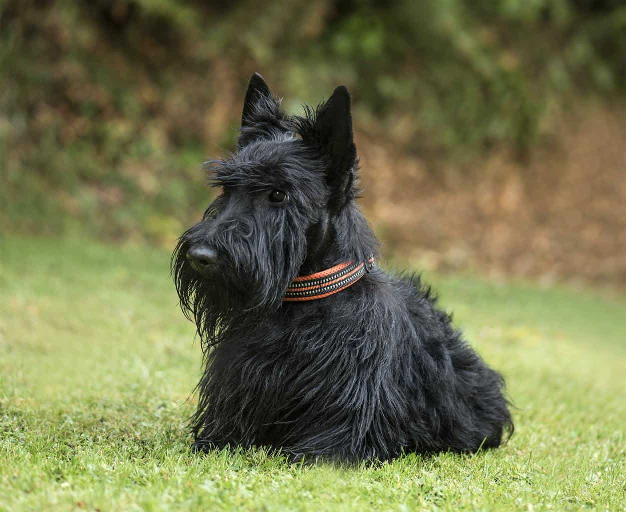Scottish Terrier, 2 years old, in park