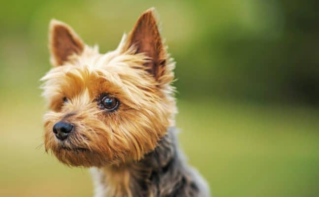 Ten Years Old Australian Silky Terrier Portrait