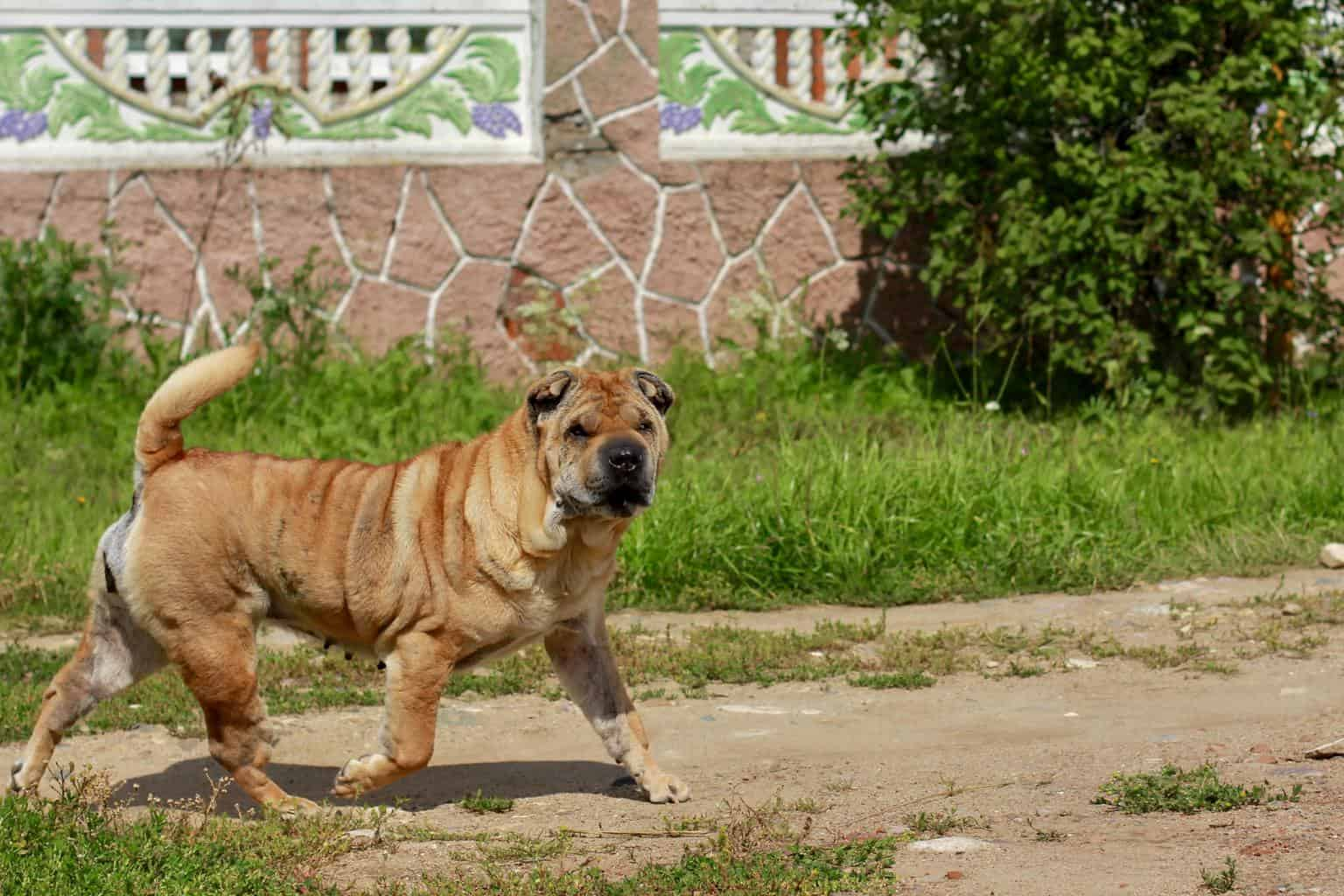 A beautiful, young, red Chinese Shar Pei dog walking on the rural road.