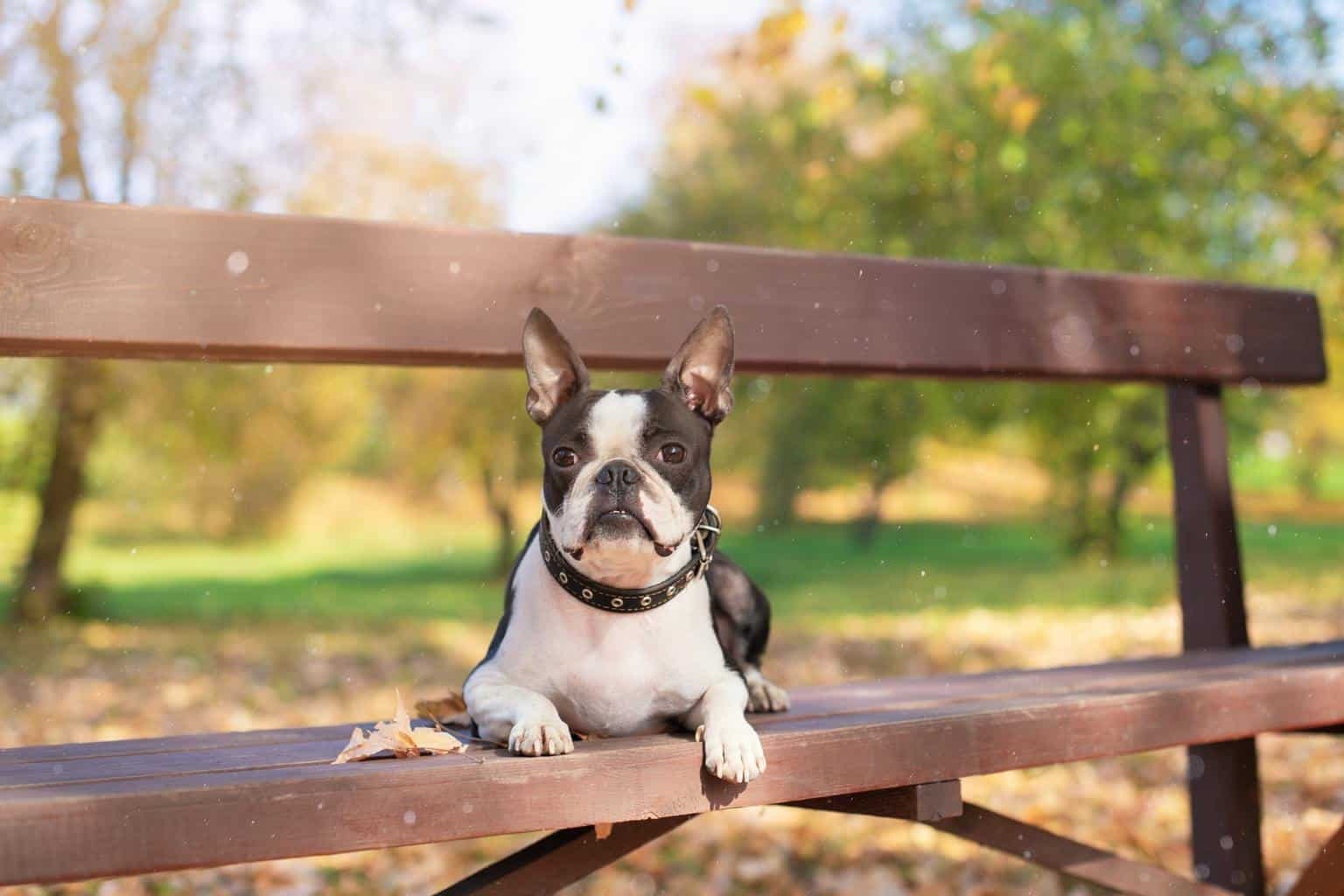 A Boston Terrier dog lies on a wooden bench in a Park in beautiful nature on a Sunny, clear autumn