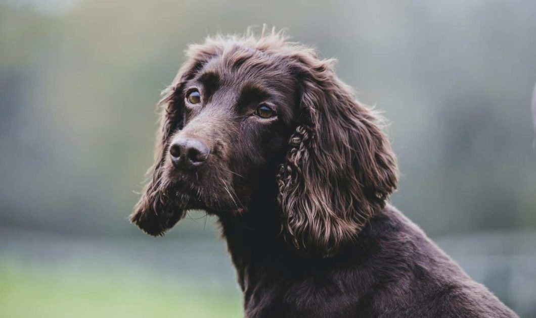 Close up of Brown Spaniel dog sitting in a field.