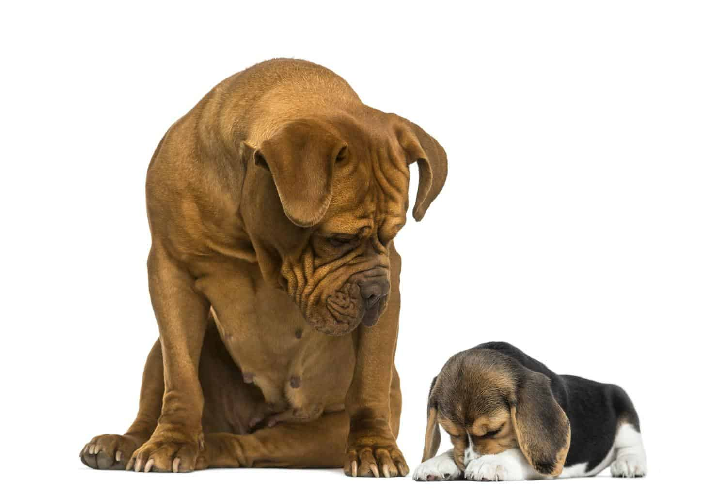 Dogue de Bordeaux sitting and looking at a embarrassed Beagle puppy