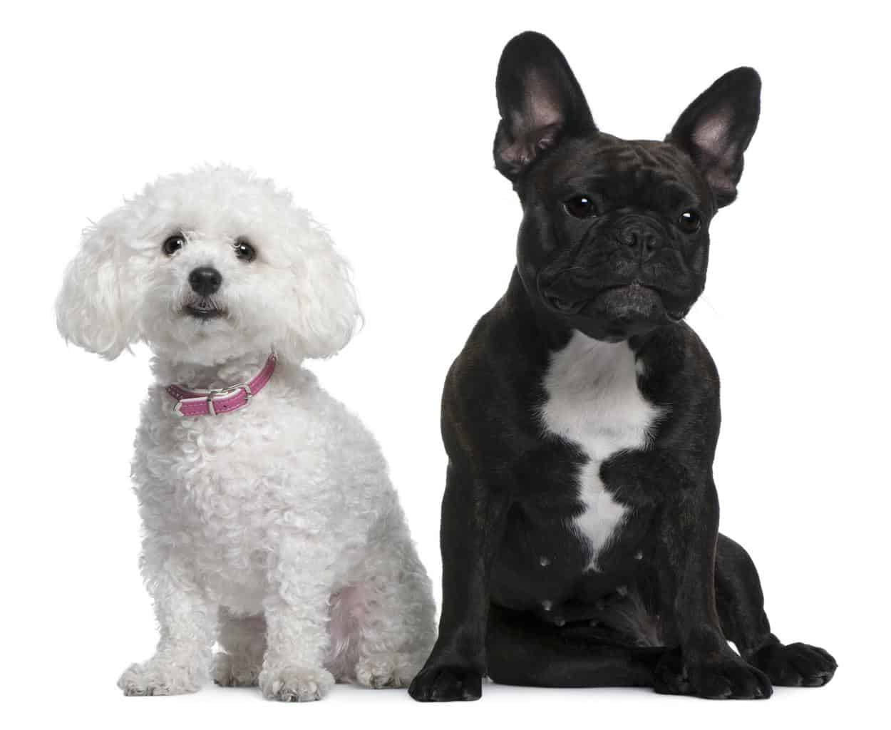French Bulldog, 18 months old and Bichon Frise, 3 years old, sitting in front of white background