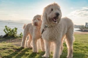 Happy Labradoodle dogs by the sea at sunset.