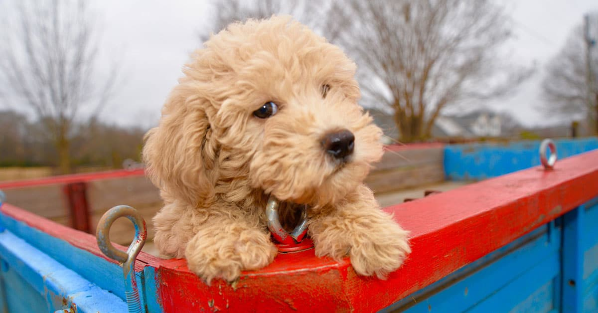 labradoodle puppy in truck