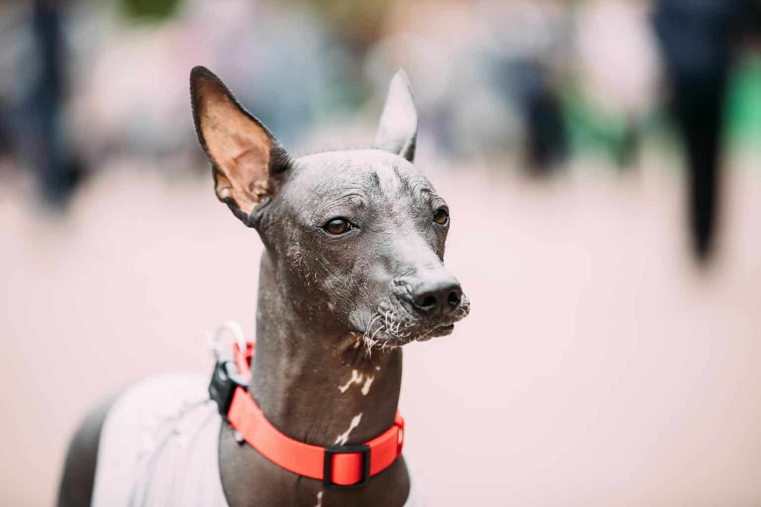 Xoloitzcuintli Mexican Hairless Dog In Outfit Playing In City Park
