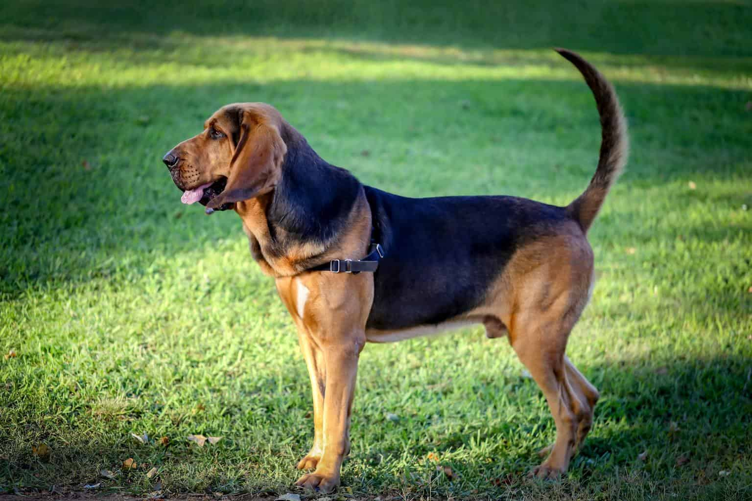 ✨NOMINATED✨ A beautiful young bloodhound stands on a green lawn on a sunny summer day.