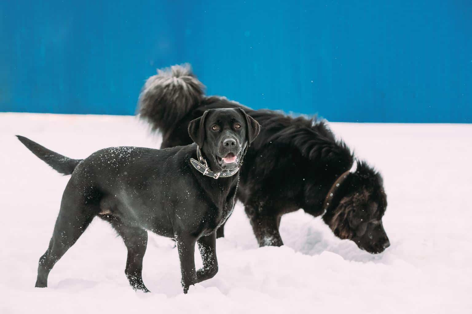 Two Funny Dogs Labrador And Newfoundland Play Together Outdoor I