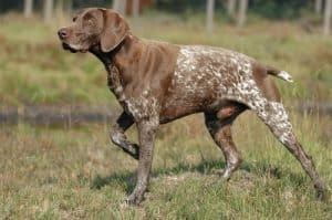 Is The German Shorthaired Pointer The Best Gundog?