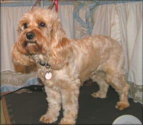 First Popular Designer Dog Was The Cockapoo
