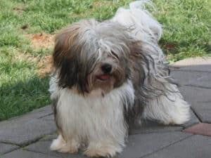 Havanese Are Cheerful Toy Dogs From Cuba