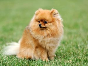 Pomeranians The Biggest Little Dogs In The World