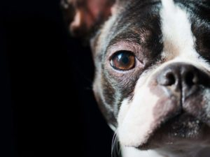 Boston Terrier A Remarkable Dog With Impeccable Manners
