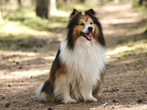 Shetland Sheepdog A Small Dog With A Big Heart