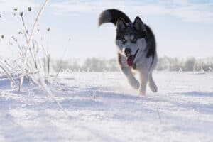 Siberian Husky When You Need A Powerful Sled Dog