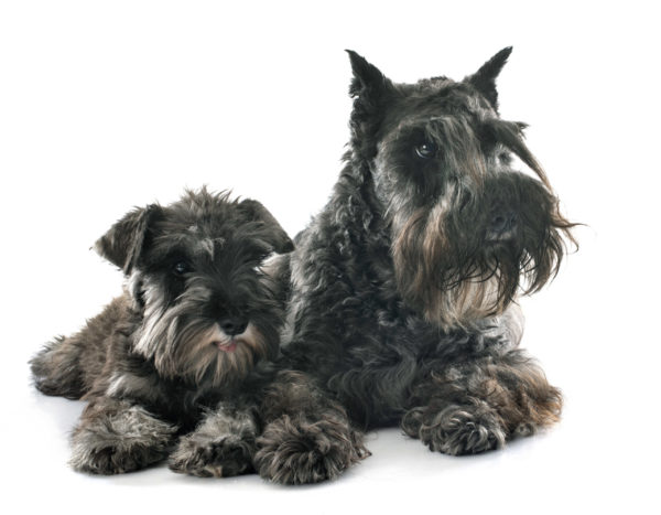 Uncropped and Cropped Ears of Miniature Schnauzers