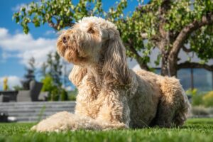 The Goldendoole Is An Extremely Popular Designer Dog